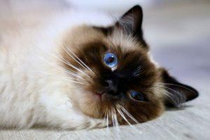 BlueEyeDolls Blue Eyes Ragdoll Kärnten Zucht Ragdollzucht Unterkärnten Katze Blaue Augen Züchter Katze Katze mit blauen Augen TICA Blue Danube Cat Club